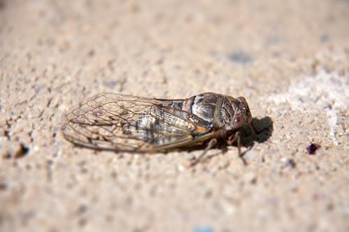 セミ 幼虫 水