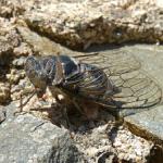 蝉の鳴き声って種類によって違うの?鳴き始めと終わりはいつ?
