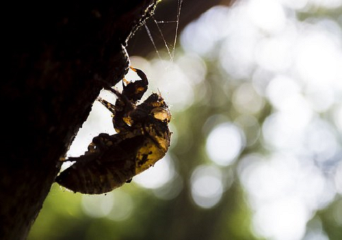 セミ 幼虫 生態