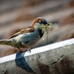 蝉を食べる野生の鳥たち