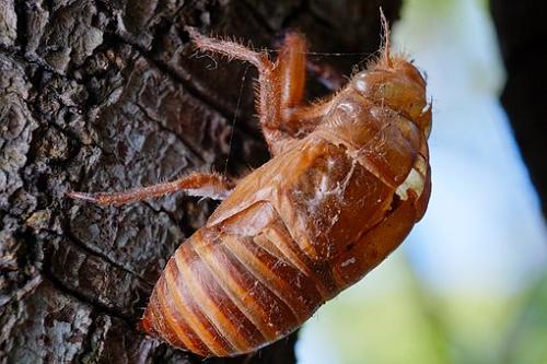 セミ 幼虫 飼育