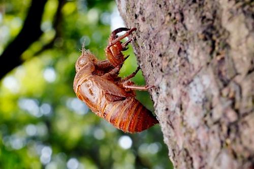 セミ 幼虫 捕まえ方 時間