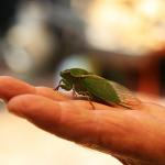 セミの成虫の生態!セミの成虫の寿命はなぜ短いの?セミの寿命は本当に短い?