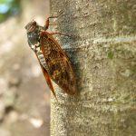 蝉の鳴き始める時期の温度と遅い時の注意点とは?