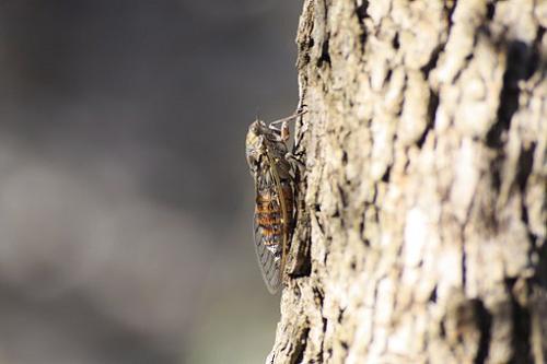 蝉 鳴く 体 羽 構造