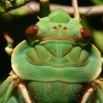 最も小さいセミと、緑色の羽をしたセミ