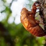 蝉の脱皮の回数は?鳴き声に影響はあるのでしょうか?