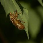 セミの幼虫の羽化と鳴き声が聞ける時間帯