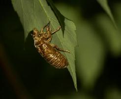 セミ 幼虫 羽化 鳴き声 時間帯