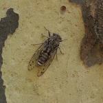 アメリカには13年周期や17年周期で大発生する蝉がいるってホント?
