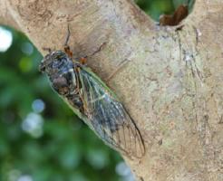 クマゼミ 幼虫 見分け方