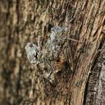 蝉の幼虫が懸命に地面を歩いている!どこへ行くのだろう?