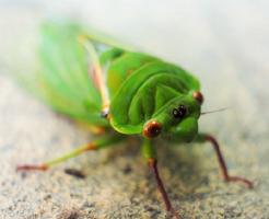 ② セミ 食べる 寄生虫