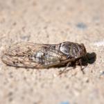 セミの幼虫はなぜ地中で過ごすのか、本当に7年も土の中にいるのでしょうか?