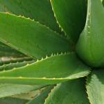 セミの幼虫の飼育!アロエも育ちやすく幼虫にも適している土とは?