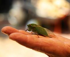 セミ 成虫 生態 寿命 なぜ
