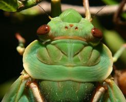 セミ 緑色 小さい 羽