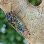 クマゼミの幼虫の見分け方について