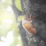 クマゼミの幼虫の期間について。土の中にいるのは何年くらい!?