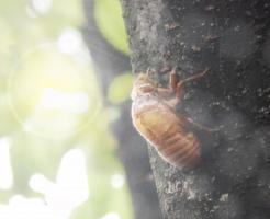 クマゼミ 幼虫 期間 何年